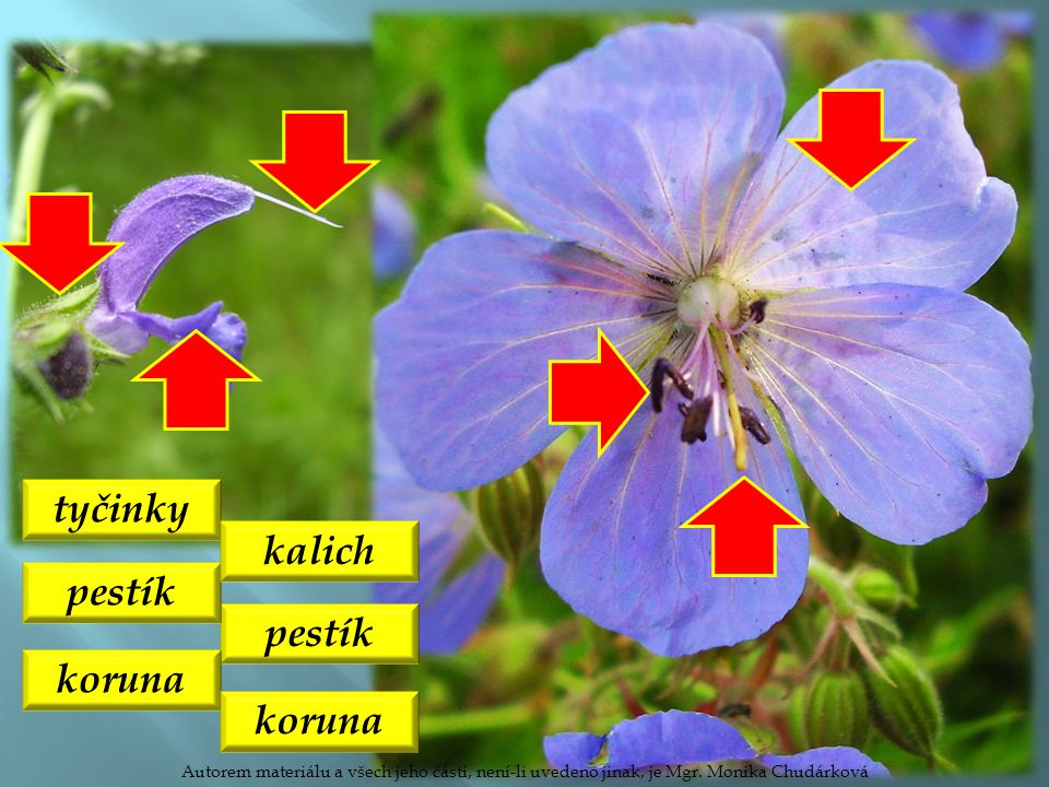tyčinky kalich pestík pestík koruna koruna