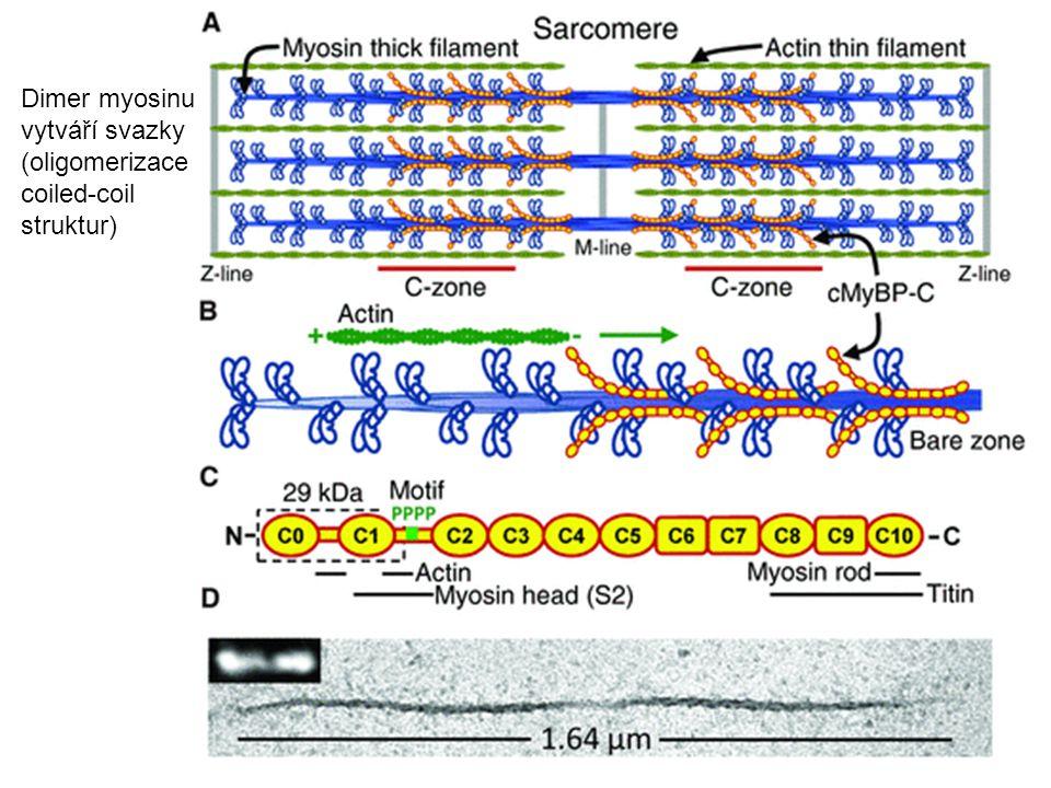 Dimer myosinu vytváří svazky (oligomerizace coiled-coil struktur)