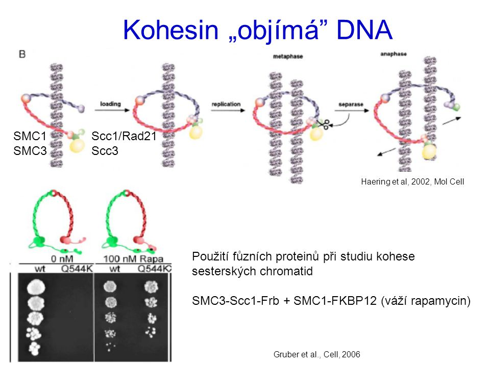 """Kohesin """"objímá DNA SMC1 Scc1/Rad21 SMC3 Scc3"""