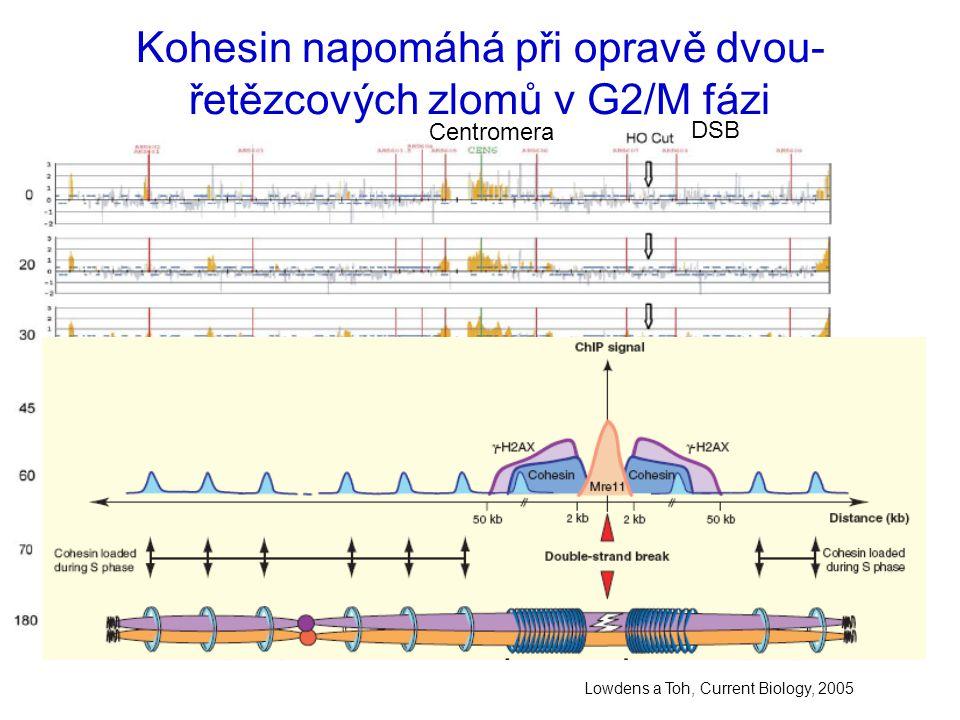 Kohesin napomáhá při opravě dvou-řetězcových zlomů v G2/M fázi