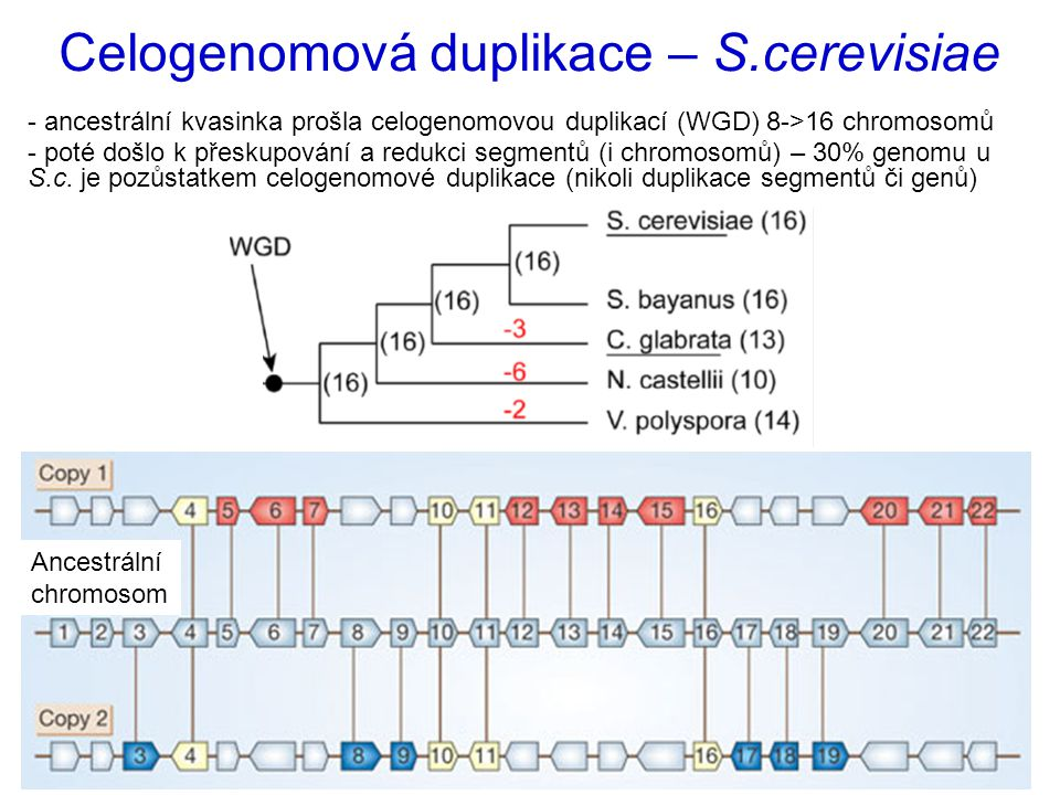 Celogenomová duplikace – S.cerevisiae