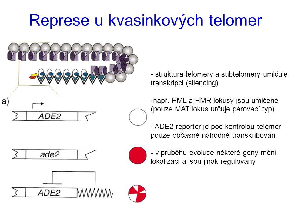 Represe u kvasinkových telomer