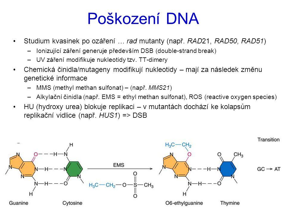 Poškození DNA Studium kvasinek po ozáření … rad mutanty (např. RAD21, RAD50, RAD51) Ionizující záření generuje především DSB (double-strand break)