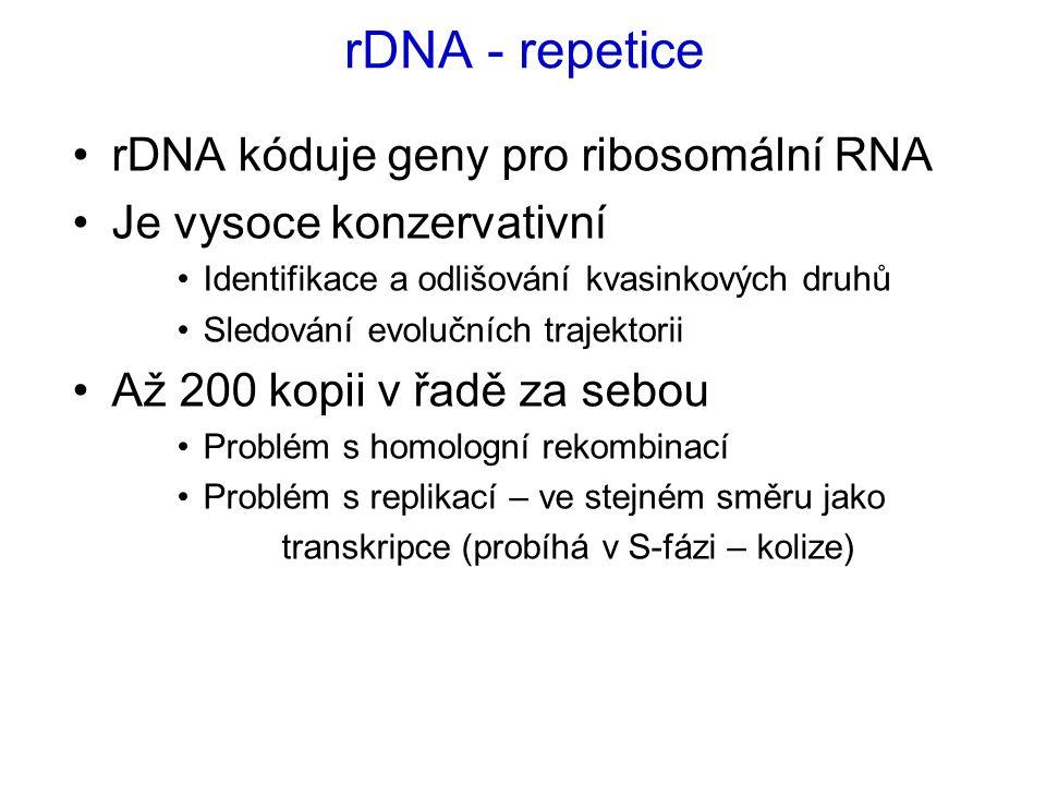rDNA - repetice rDNA kóduje geny pro ribosomální RNA