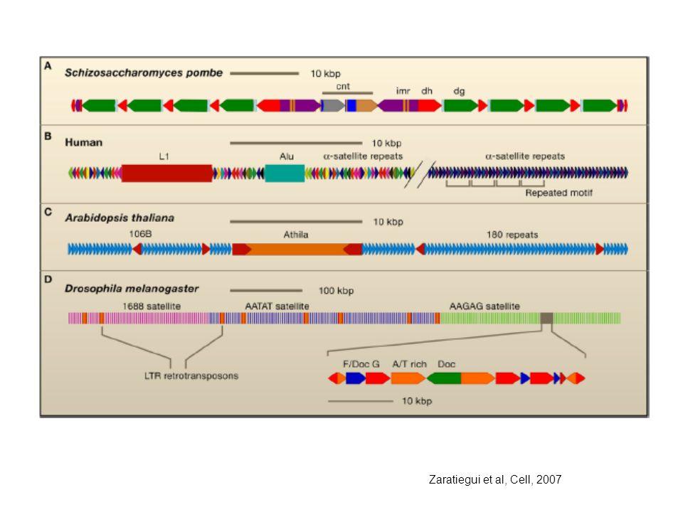 Zaratiegui et al, Cell, 2007
