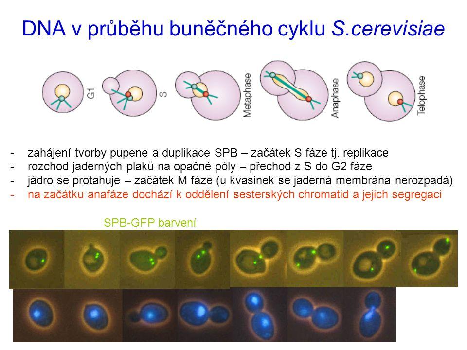 DNA v průběhu buněčného cyklu S.cerevisiae