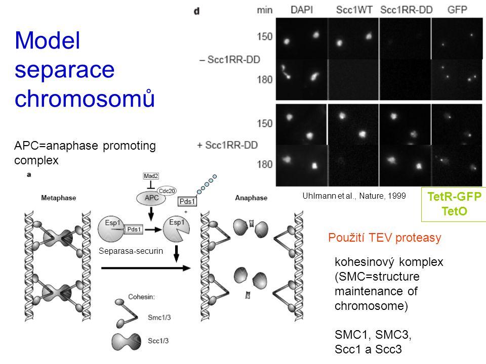 Model separace chromosomů APC=anaphase promoting complex