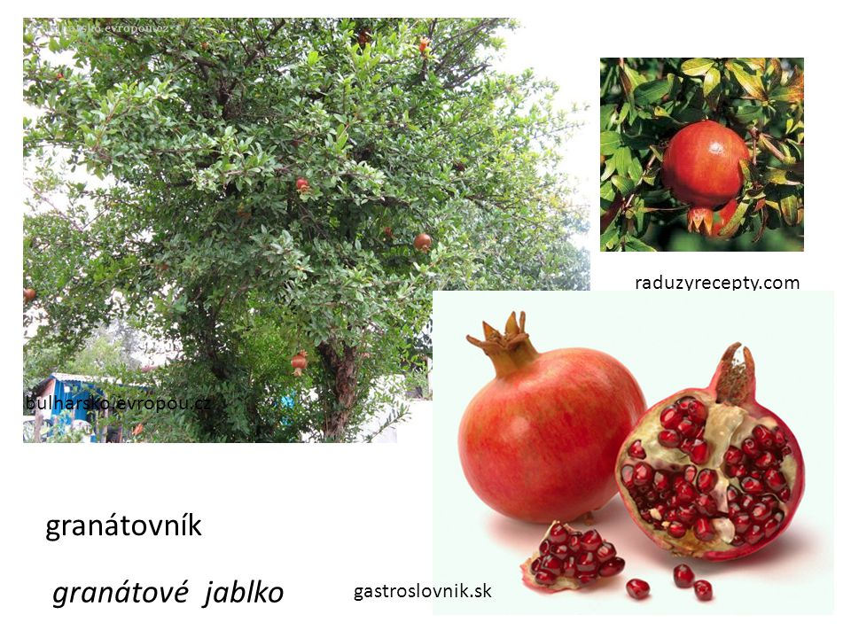 granátovník granátové jablko raduzyrecepty.com bulharsko.evropou.cz
