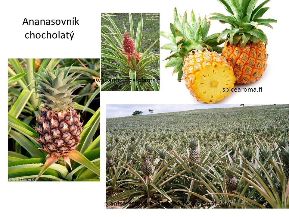 Ananasovník chocholatý hawaiiantropicalplants.com spicearoma.fi