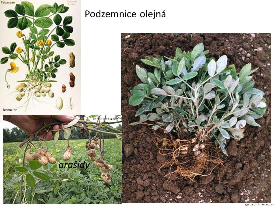 Podzemnice olejná arašídy biotox.cz cs.wikipedia.org