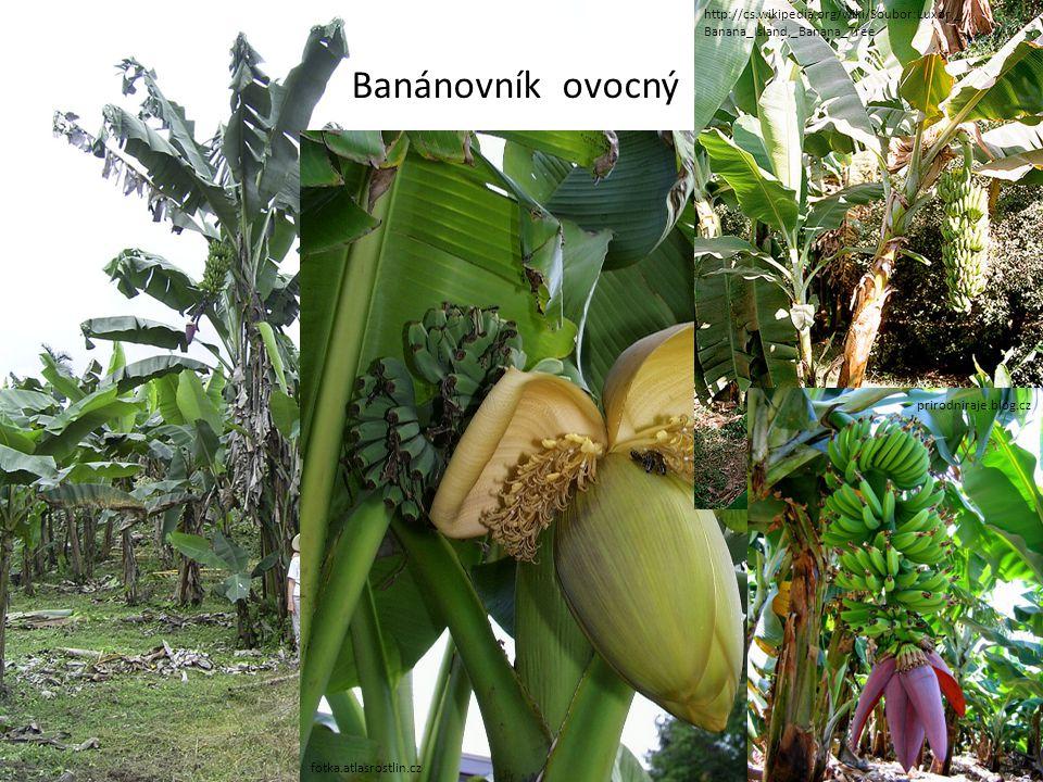 http://cs.wikipedia.org/wiki/Soubor:Luxor,_Banana_Island,_Banana_Tree Banánovník ovocný. fotka.atlasrostlin.cz.