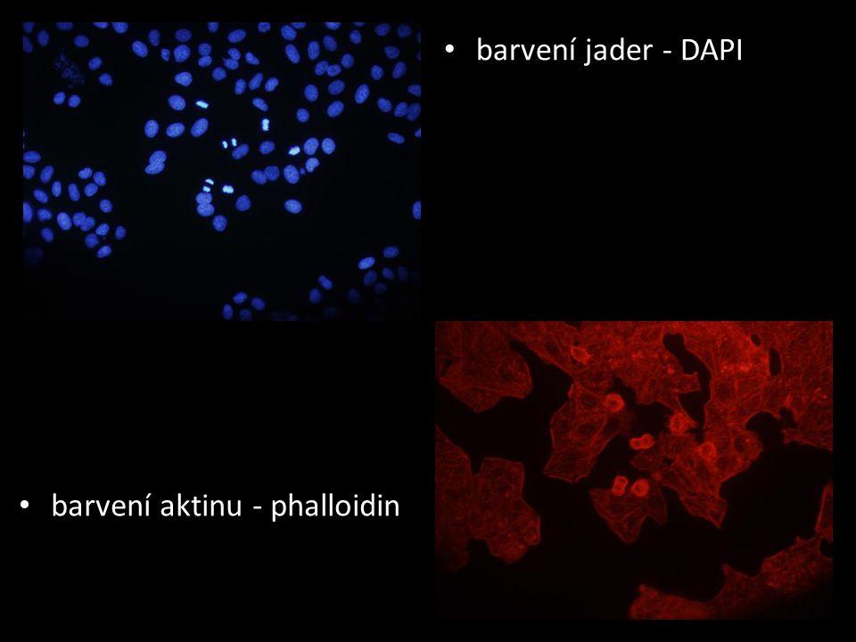 barvení aktinu - phalloidin