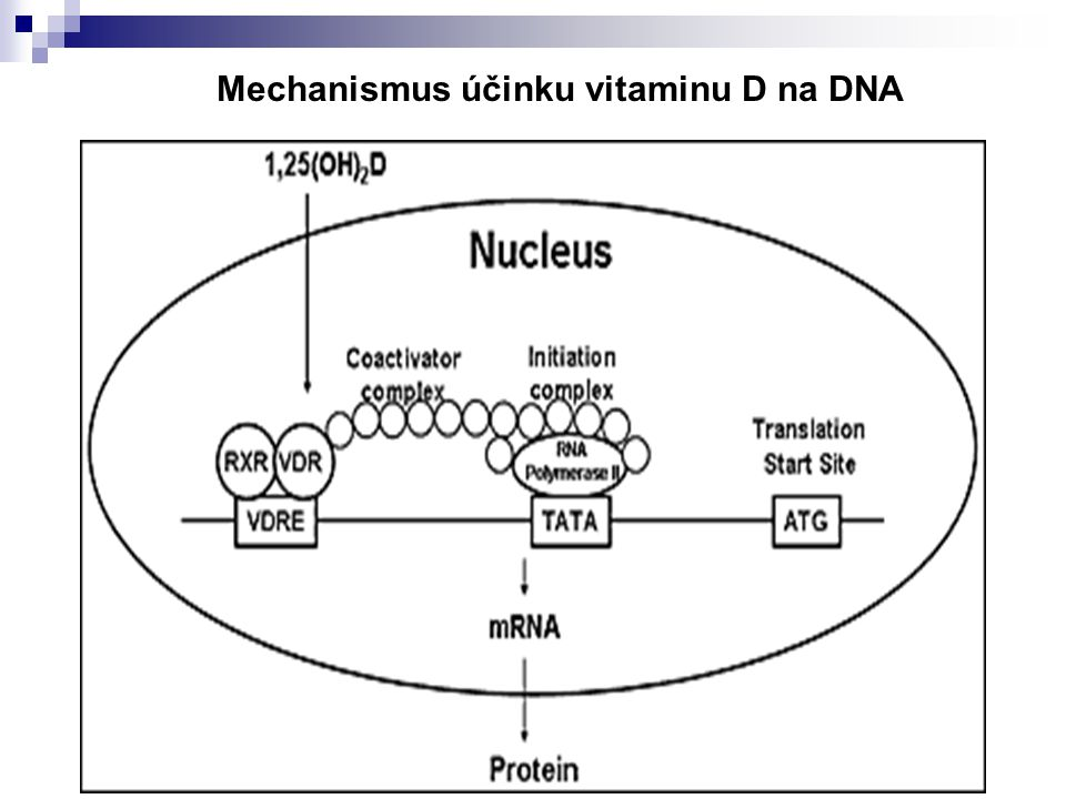 Mechanismus účinku vitaminu D na DNA