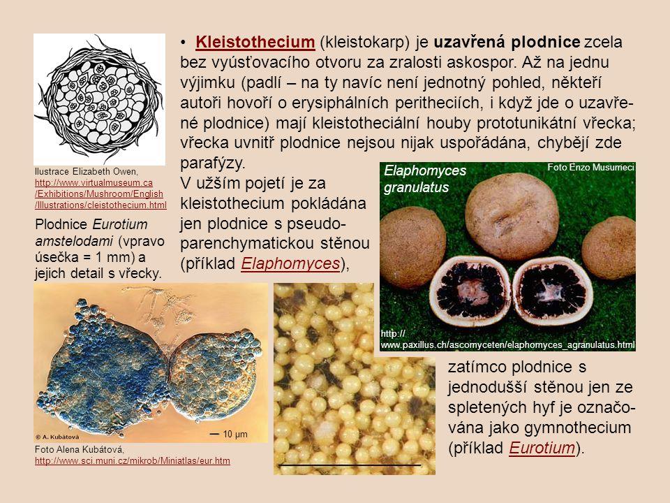 kleistothecium pokládána jen plodnice s pseudo-