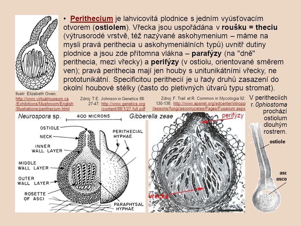 • Perithecium je lahvicovitá plodnice s jedním vyúsťovacím otvorem (ostiolem). Vřecka jsou uspořádána v roušku = theciu (výtrusorodé vrstvě, též nazývané askohymenium – máme na mysli pravá perithecia u askohymeniálních typů) uvnitř dutiny plodnice a jsou zde přítomna vlákna – parafýzy (na dně perithecia, mezi vřecky) a perifýzy (v ostiolu, orientované směrem ven); pravá perithecia mají jen houby s unitunikátními vřecky, ne prototunikátní. Specificitou perithecií je u řady druhů zasazení do okolní houbové stélky (často do pletivných útvarů typu stromat).