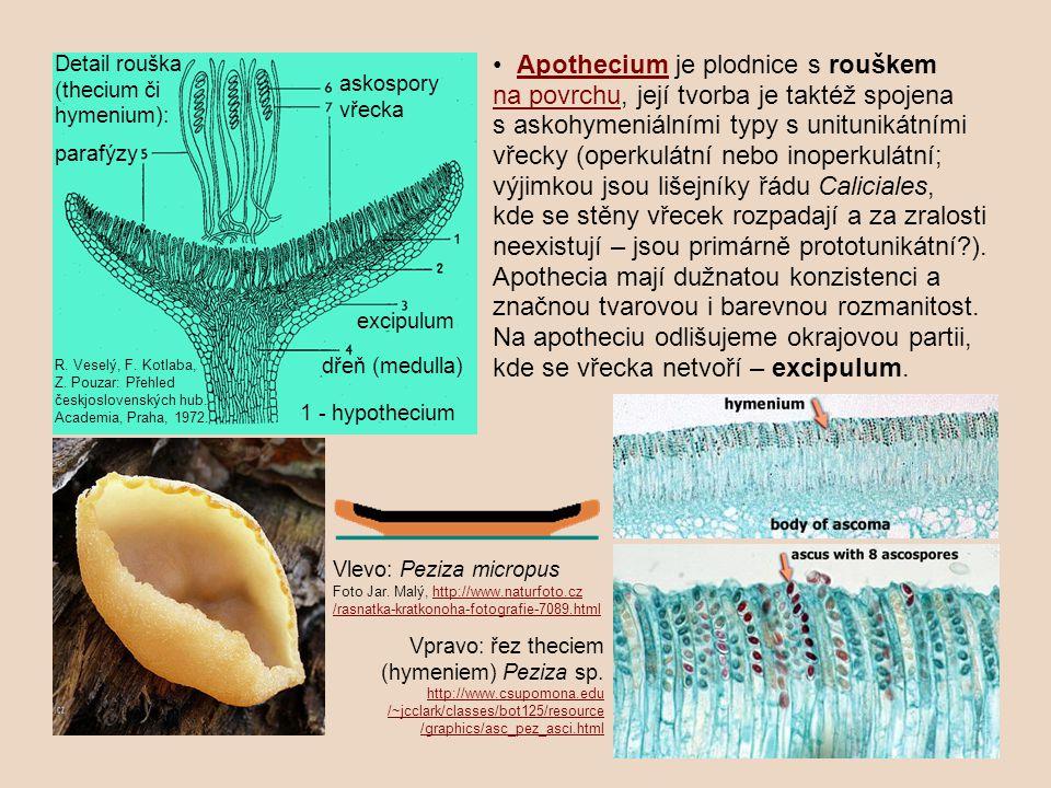 Detail rouška (thecium či hymenium):