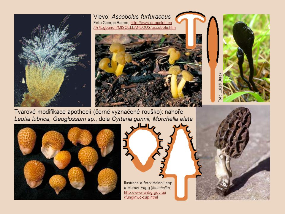 Vlevo: Ascobolus furfuraceus