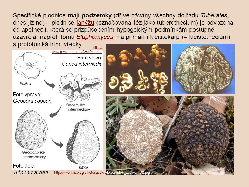 Specifické plodnice mají podzemky (dříve dávány všechny do řádu Tuberales, dnes již ne) – plodnice lanýžů (označována též jako tuberothecium) je odvozena od apothecií, která se přizpůsobením hypogeickým podmínkám postupně uzavřela; naproti tomu Elaphomyces má primární kleistokarp (= kleistothecium) s prototunikátními vřecky.