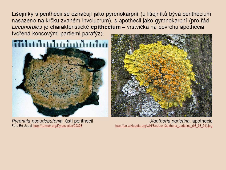 Lišejníky s perithecii se označují jako pyrenokarpní (u lišejníků bývá perithecium nasazeno na krčku zvaném involucrum), s apothecii jako gymnokarpní (pro řád Lecanorales je charakteristické epithecium – vrstvička na povrchu apothecia tvořená koncovými partiemi parafýz).