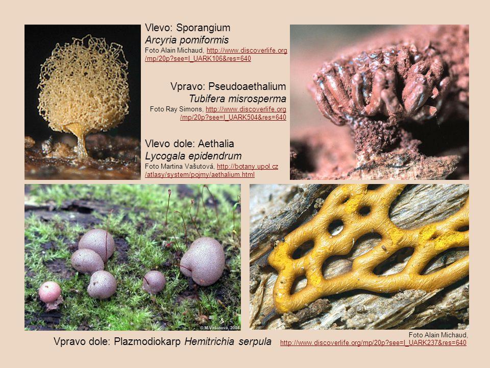 Vlevo: Sporangium Arcyria pomiformis