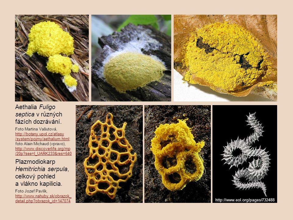 Aethalia Fuligo septica v různých fázích dozrávání.