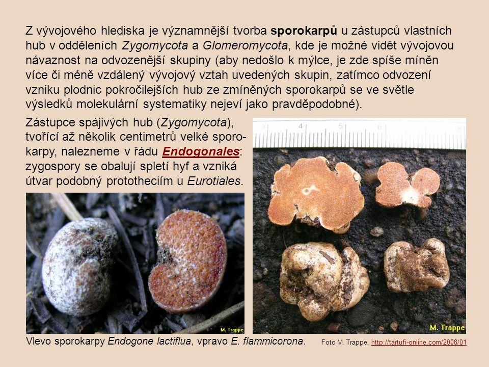 Zástupce spájivých hub (Zygomycota),