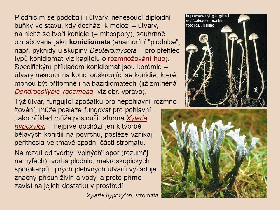 Jako příklad může posloužit stroma Xylaria