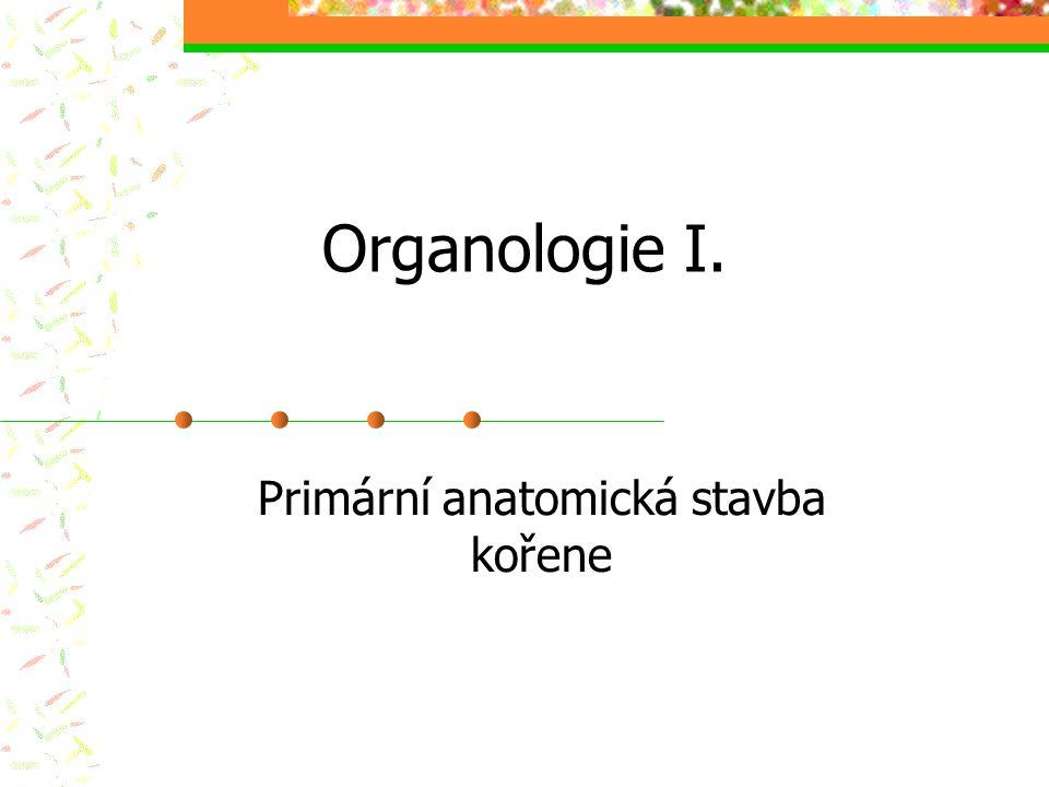 Primární anatomická stavba kořene
