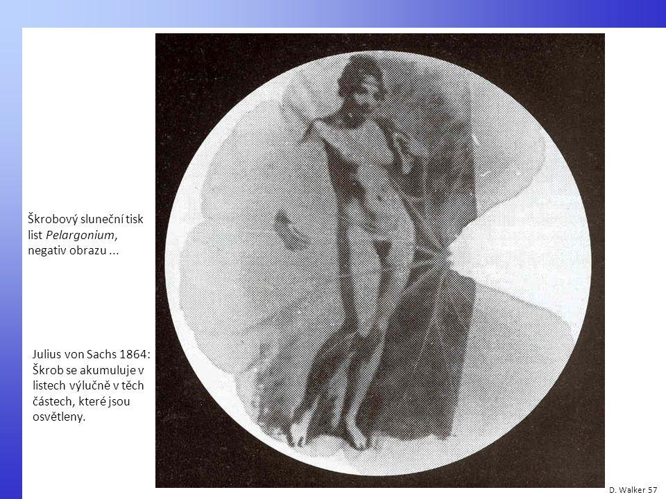 Škrobový sluneční tisk list Pelargonium, negativ obrazu ...