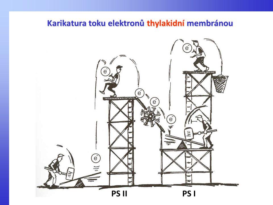 Karikatura toku elektronů thylakidní membránou