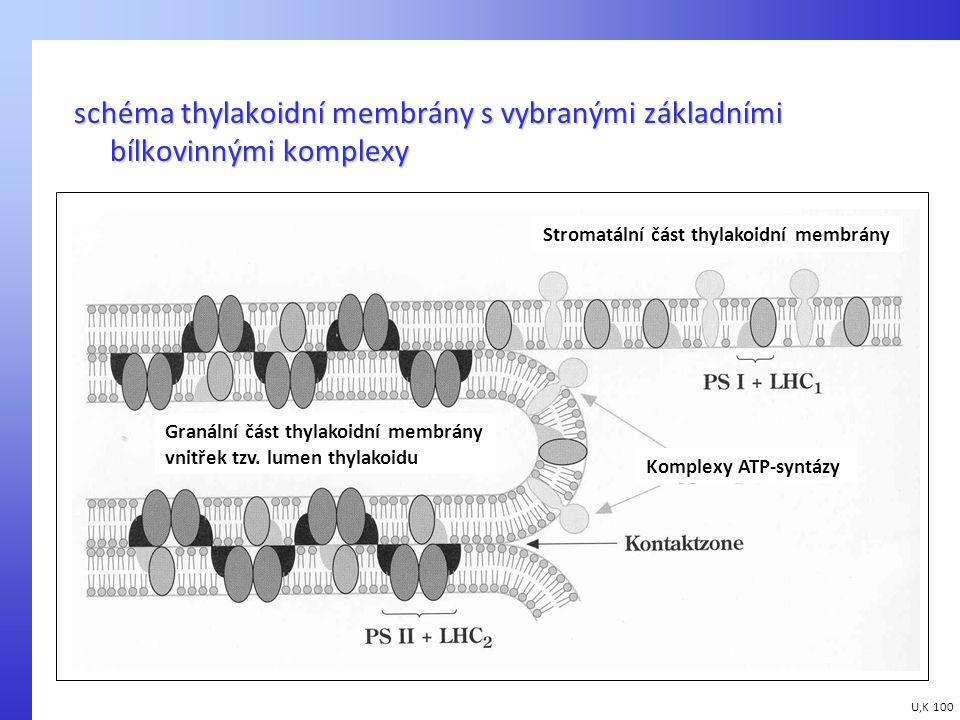 schéma thylakoidní membrány s vybranými základními bílkovinnými komplexy