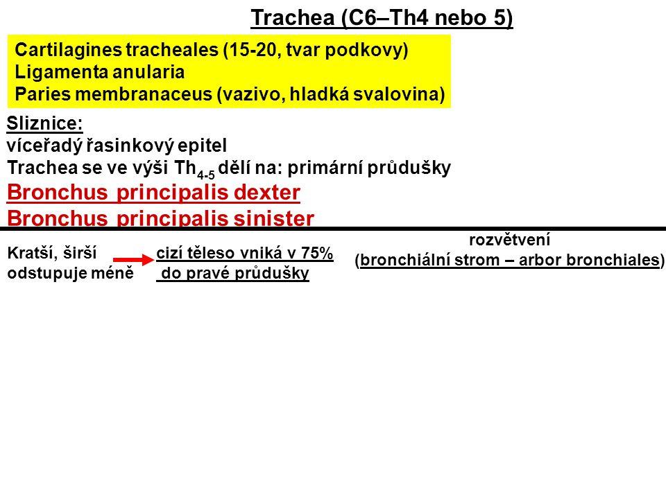 (bronchiální strom – arbor bronchiales)