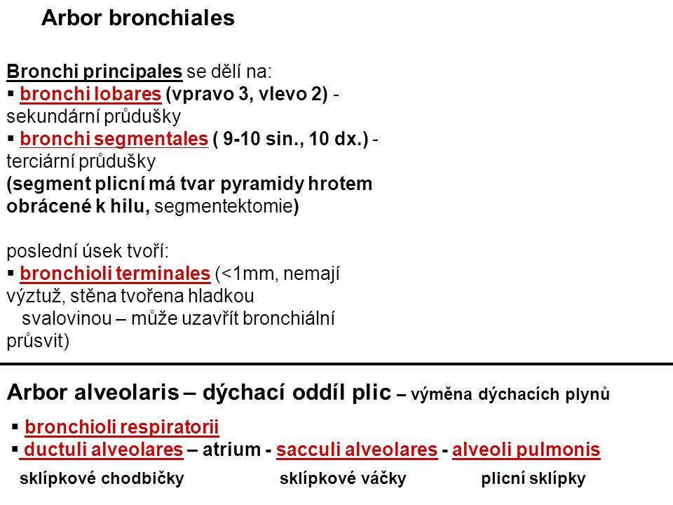 Arbor alveolaris – dýchací oddíl plic – výměna dýchacích plynů
