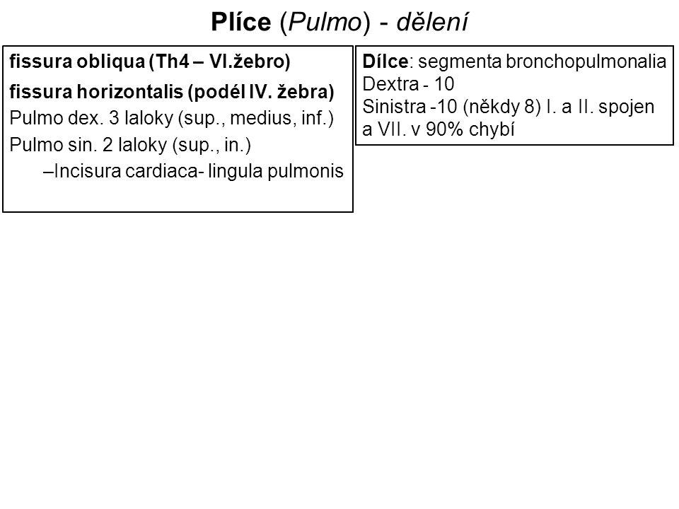 Plíce (Pulmo) - dělení fissura obliqua (Th4 – VI.žebro)