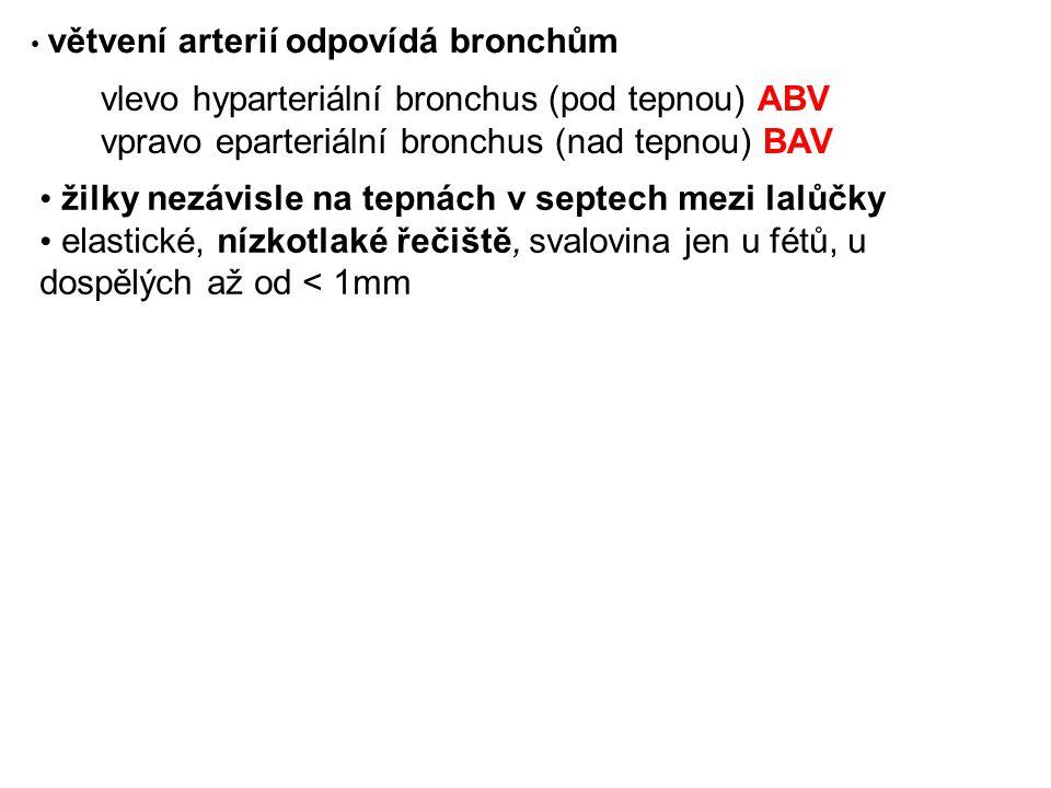 vlevo hyparteriální bronchus (pod tepnou) ABV