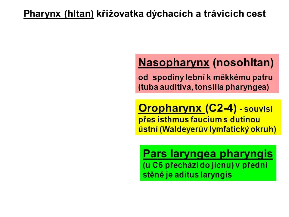 Pharynx (hltan) křižovatka dýchacích a trávicích cest