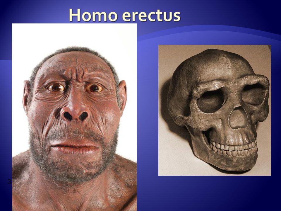 Homo erectus 33.