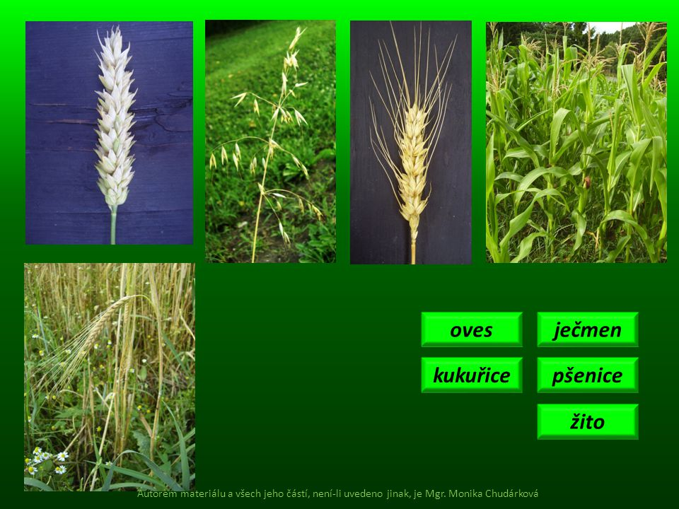 oves ječmen kukuřice pšenice žito