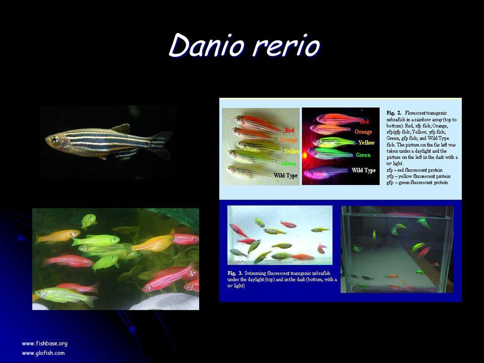 Danio rerio www.fishbase.org www.glofish.com