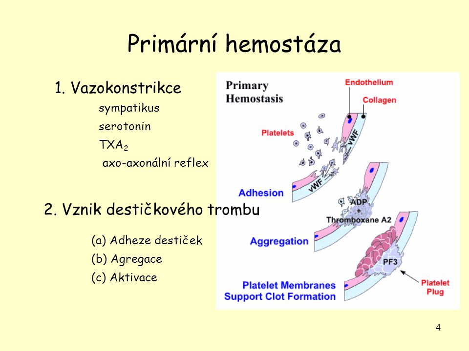 Primární hemostáza 1. Vazokonstrikce 2. Vznik destičkového trombu