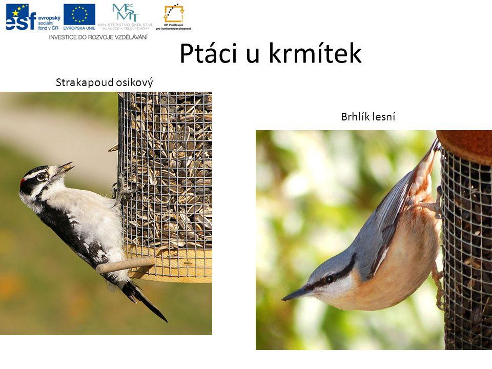 Ptáci u krmítek Strakapoud osikový Brhlík lesní