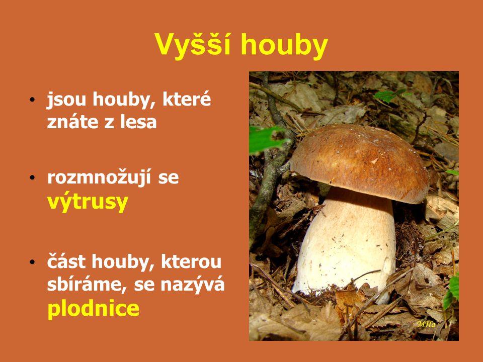 Vyšší houby jsou houby, které znáte z lesa rozmnožují se výtrusy