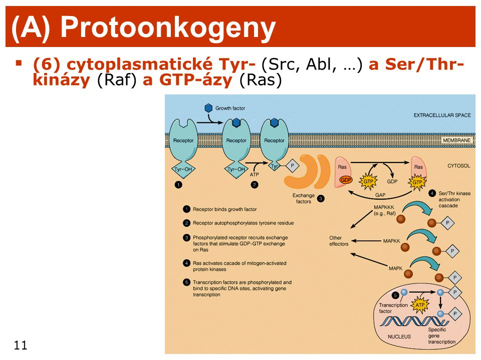 (A) Protoonkogeny (6) cytoplasmatické Tyr- (Src, Abl, …) a Ser/Thr-kinázy (Raf) a GTP-ázy (Ras)