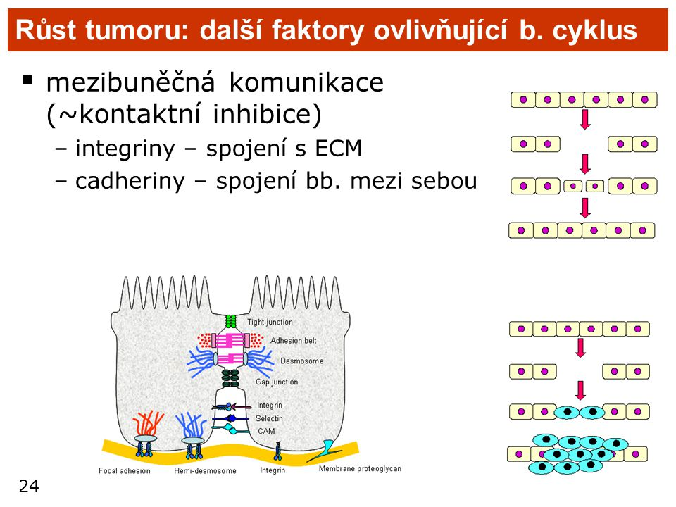 Růst tumoru: další faktory ovlivňující b. cyklus