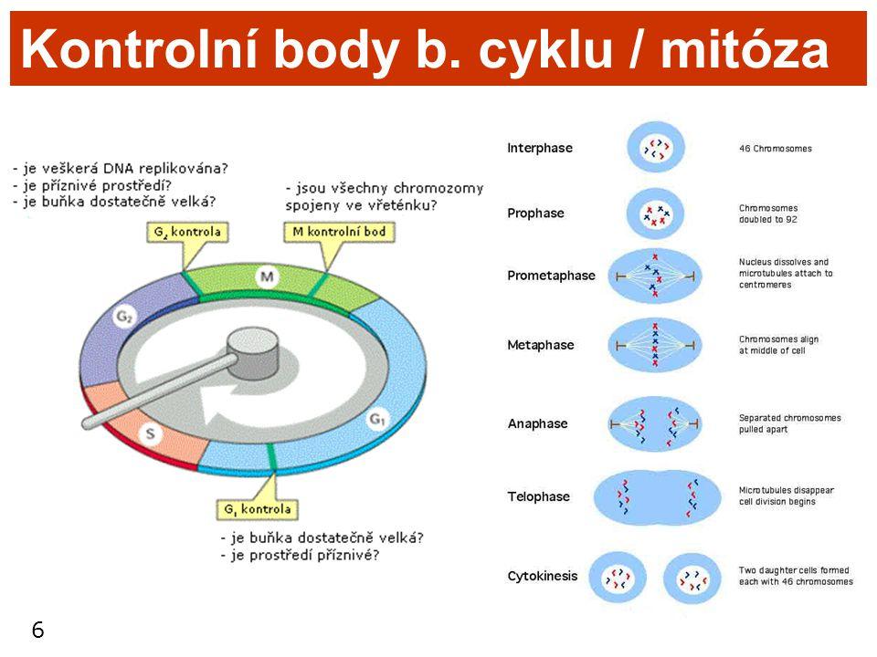 Kontrolní body b. cyklu / mitóza