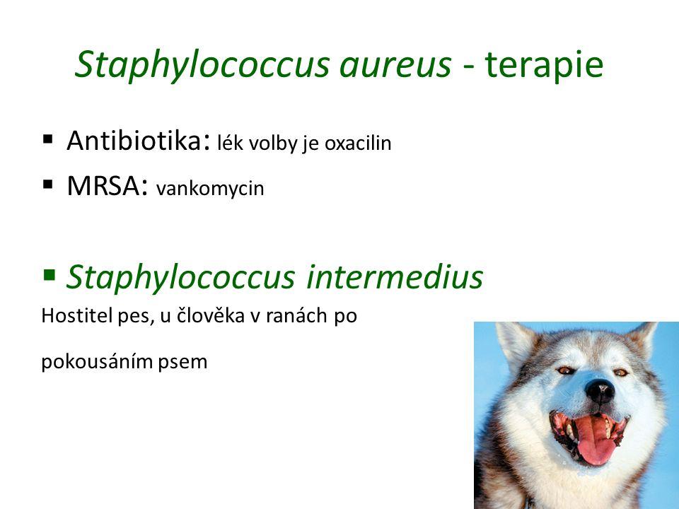 Staphylococcus aureus - terapie