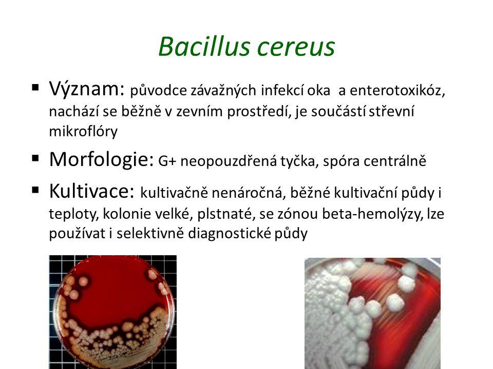 Bacillus cereus Význam: původce závažných infekcí oka a enterotoxikóz, nachází se běžně v zevním prostředí, je součástí střevní mikroflóry.