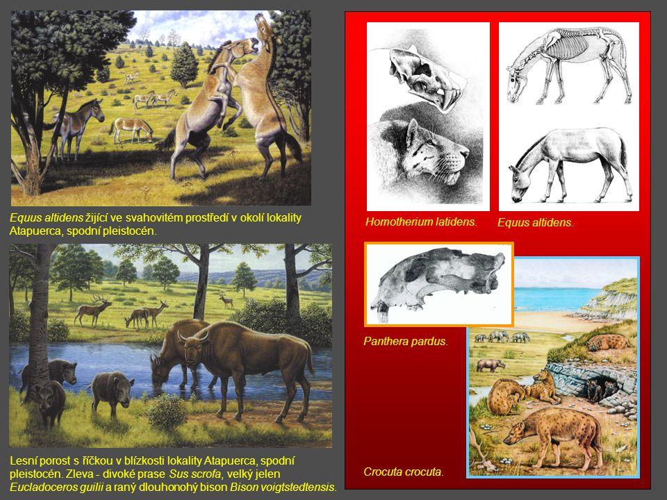 Homotherium latidens. Equus altidens. Panthera pardus. Crocuta crocuta.