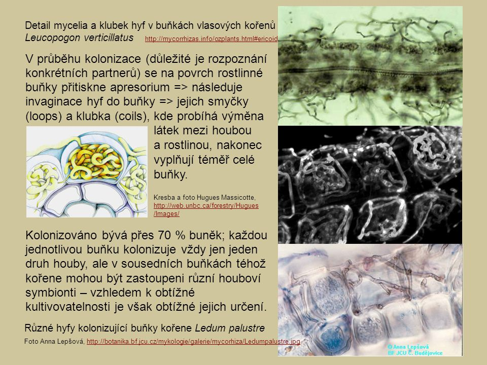 látek mezi houbou a rostlinou, nakonec vyplňují téměř celé buňky.