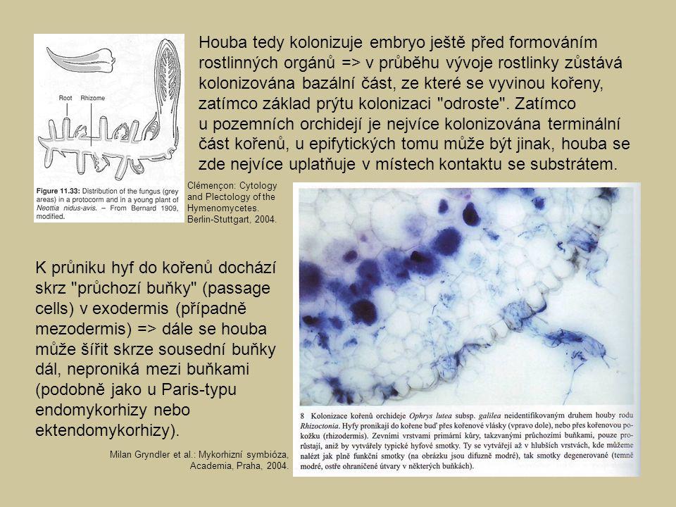 Houba tedy kolonizuje embryo ještě před formováním rostlinných orgánů => v průběhu vývoje rostlinky zůstává kolonizována bazální část, ze které se vyvinou kořeny, zatímco základ prýtu kolonizaci odroste . Zatímco u pozemních orchidejí je nejvíce kolonizována terminální část kořenů, u epifytických tomu může být jinak, houba se zde nejvíce uplatňuje v místech kontaktu se substrátem.